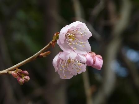 お城山 椿寒桜 2