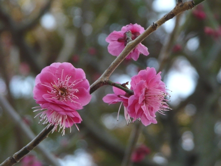 松山城二之丸史跡庭園 紅梅