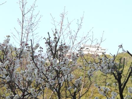 松山城二之丸史跡庭園 白梅