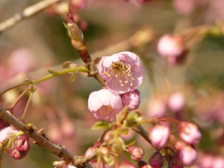 椿寒桜 2
