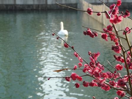 城山公園・堀之内地区 梅&白鳥 2