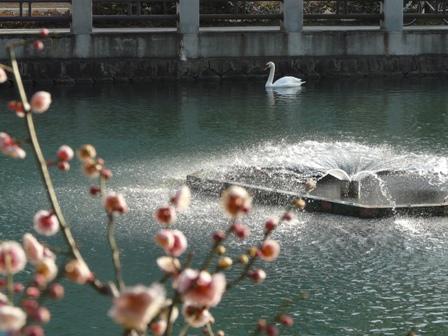 城山公園・堀之内地区 梅&白鳥 3