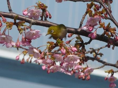 サンライズ糸山 メジロ & 河津桜 1