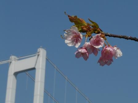 サンライズ糸山 河津桜 3