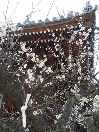 綱敷天満神社 梅 4