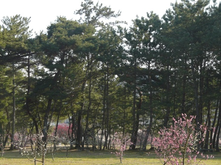 志島ヶ原 松林と梅