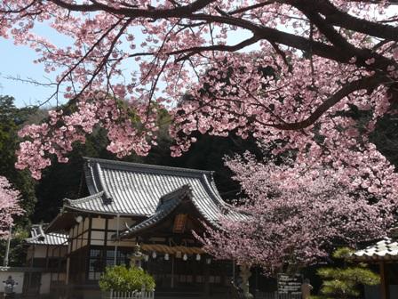 薄紅寒桜 2