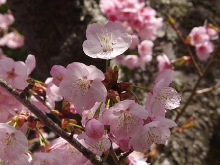薄紅寒桜 5