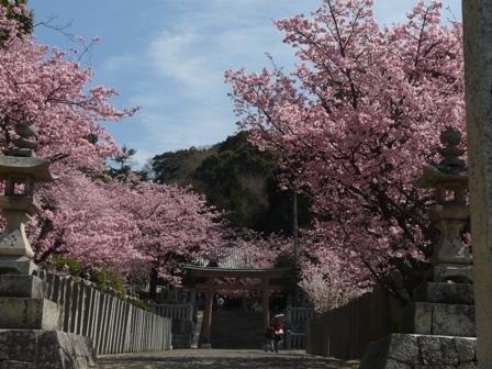 薄紅寒桜 1