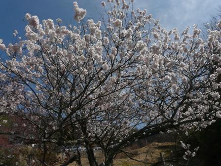 御幸1丁目 十六日桜 1