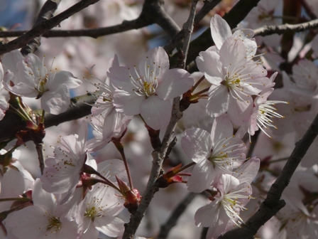 御幸1丁目 十六日桜 2