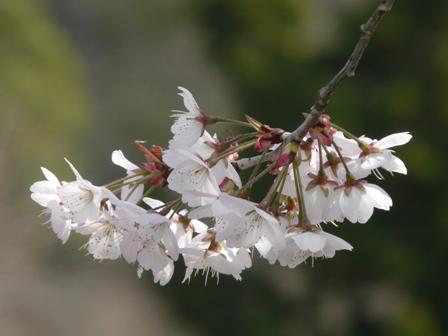 御幸1丁目 十六日桜 3