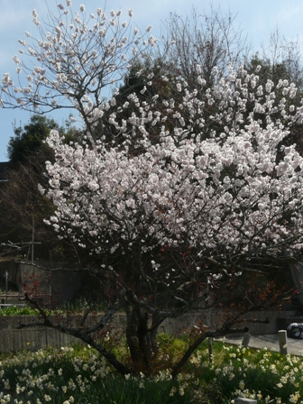御幸1丁目 十六日桜 4