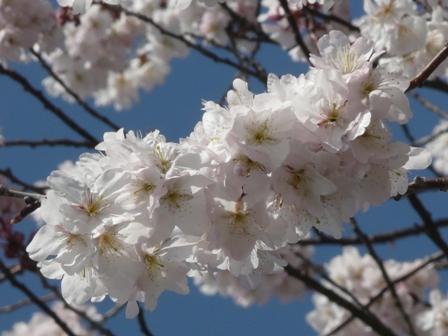 御幸1丁目 十六日桜 7
