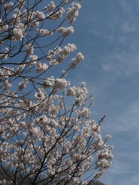 御幸1丁目 十六日桜 6