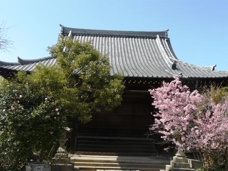 浄福寺 椿寒桜 1