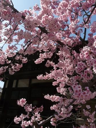 浄福寺 椿寒桜 2
