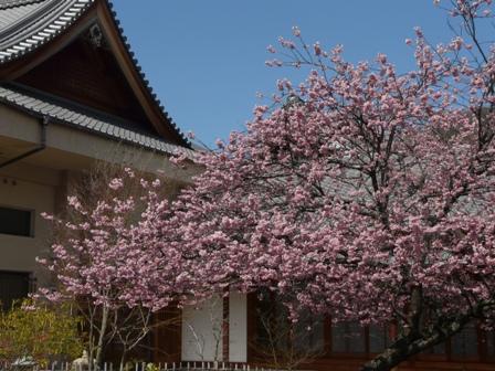 不退寺 椿寒桜 1