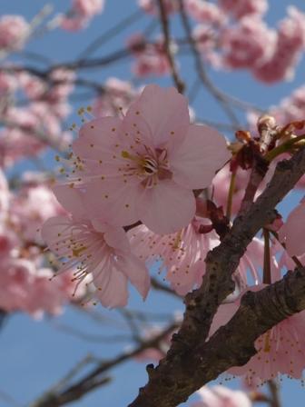 長建寺 椿寒桜 3