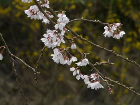内子・郷之谷川のしだれ桜 6