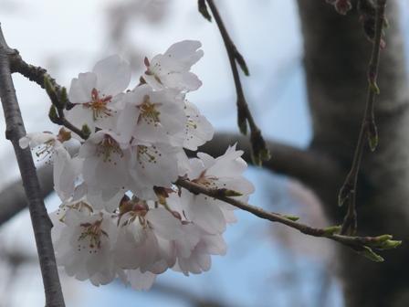 内子・郷之谷川のしだれ桜 3
