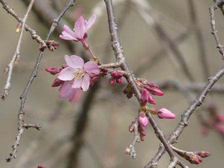 内子・郷之谷川のしだれ桜 7
