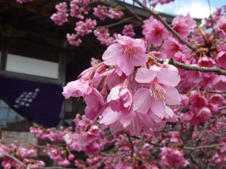 内子・高昌寺 孝子桜 3