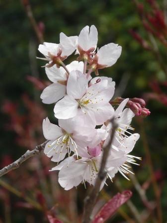 内子・高昌寺 早咲きの桜 2