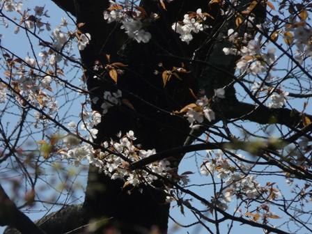 大宝寺 山桜