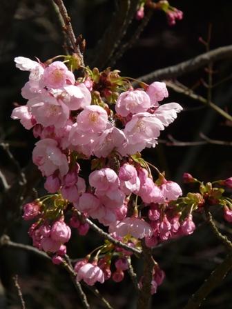大宝寺 陽光 (桜) 1