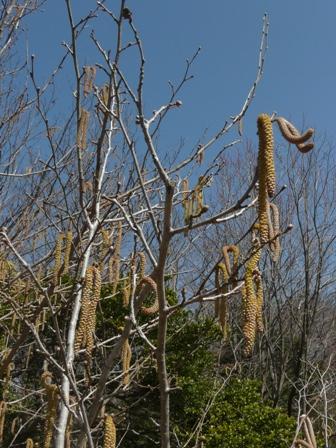 筑波実験植物園 ツノハシバミ