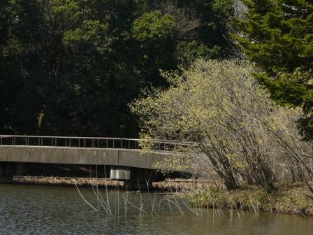 筑波実験植物園 池 と トサミズキ