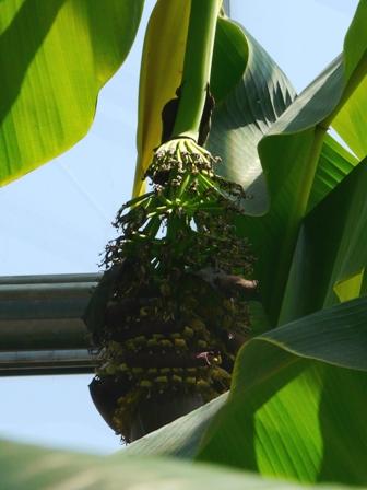 筑波実験植物園 センリンバナナ