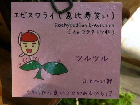 筑波実験植物園 エビスワライ 1