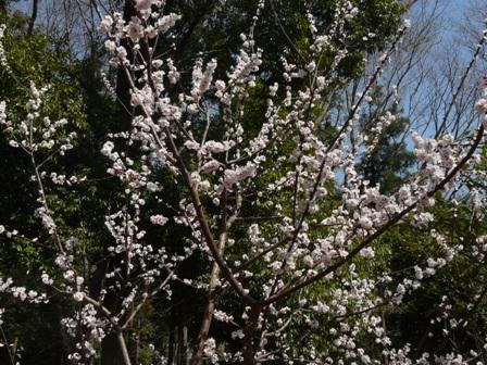 筑波実験植物園 アンズの園芸品種 1