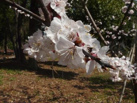 筑波実験植物園 アンズの園芸品種 2