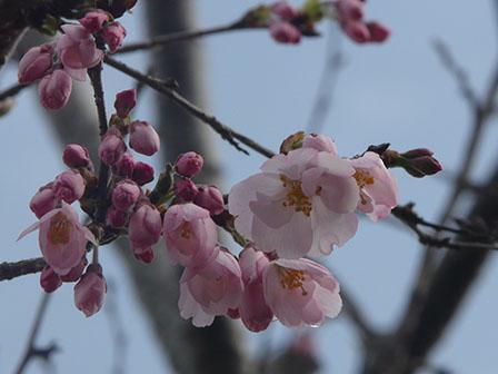 思川桜 1
