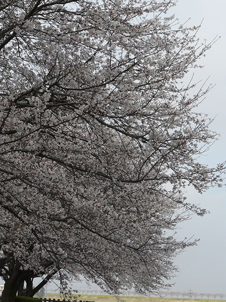 ソメイヨシノの並木 3