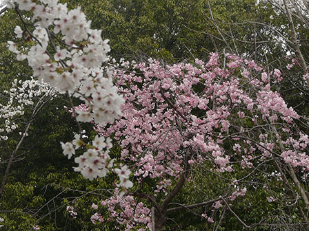佐野市・城山公園 ソメイヨシノ & 八重のしだれ桜