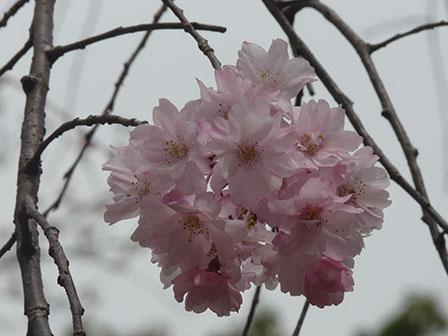 佐野市・城山公園 八重のしだれ桜