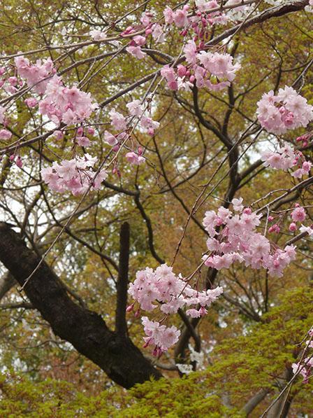 佐野市・城山公園 八重のしだれ桜 & カエデの仲間