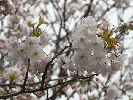 佐野市・城山公園 佐野桜 1