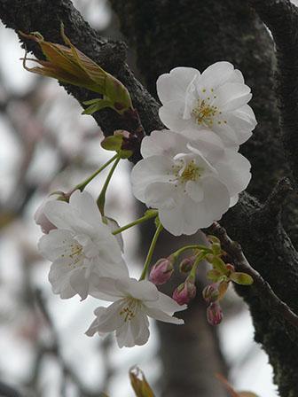 佐野市・城山公園 佐野桜 3