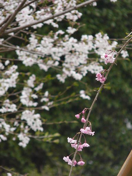 憩いの森・HACHIGATA 桜
