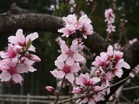 憩いの森・HACHIGATA 桃