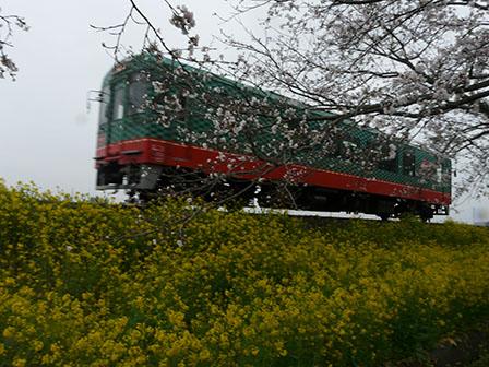 真岡鐵道 桜と モオカ14形