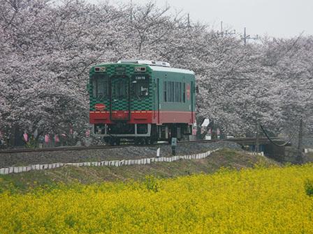 真岡鐵道 菜の花・桜と モオカ14形 1