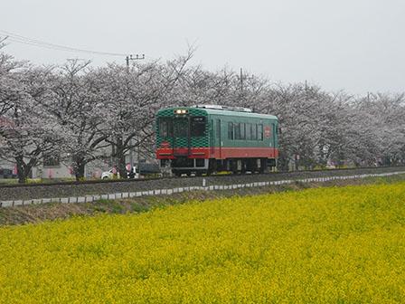 真岡鐵道 菜の花・桜と モオカ14形 2