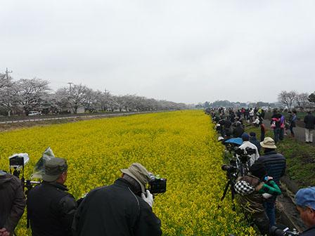 真岡鐵道 菜の花・桜と 大勢の人たち