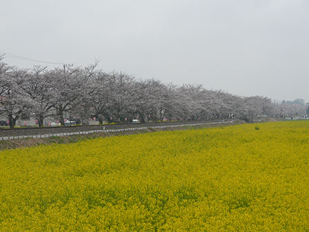 真岡鐵道 沿線 菜の花と桜